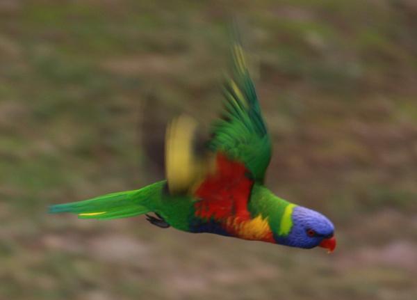 RAINBOW LORIKEET QLD AUSTRALIA by BRITCHIE