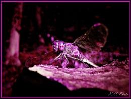 Pinky bug