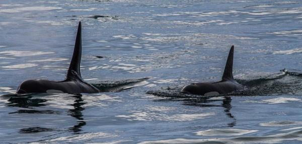 Orcas by Hazelmouse