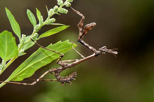 Conehead Mantis (Empusa pennata) by Mike_Young