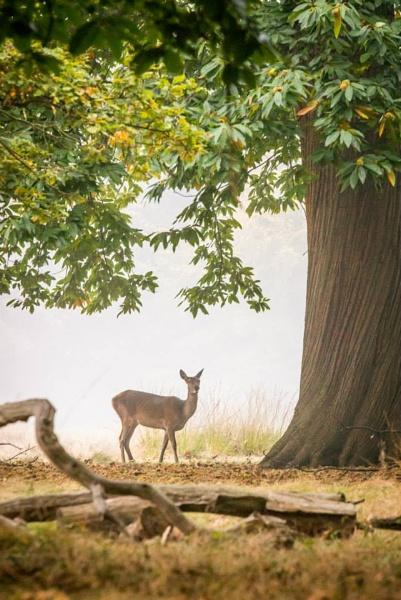 Deer in Richmond Park by NatalieCHurrell