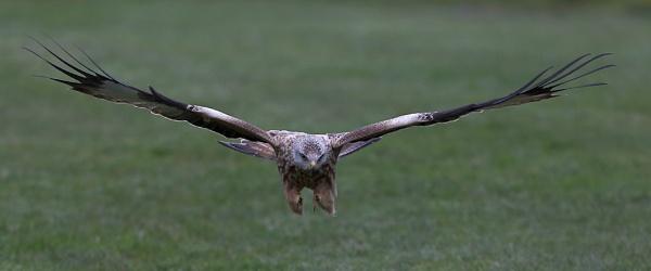 Snatching Kite by NeilSchofield
