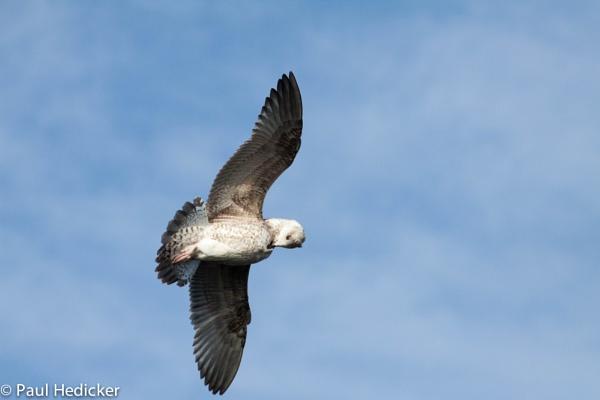 Seagull preening in flight!!! by paulbof