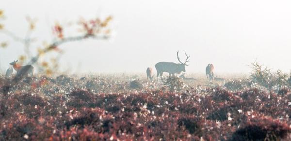 Red Deer on Ober Heath by IOWAndy