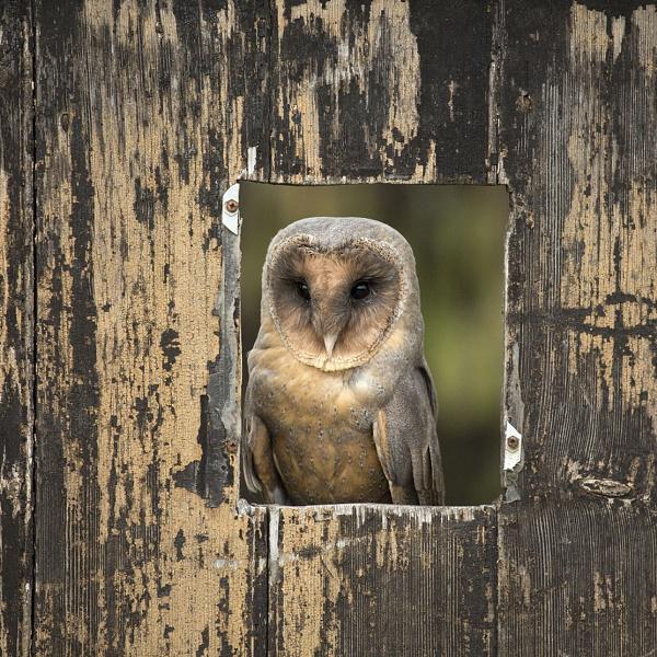 Black Faced Barn Owl by Lillian