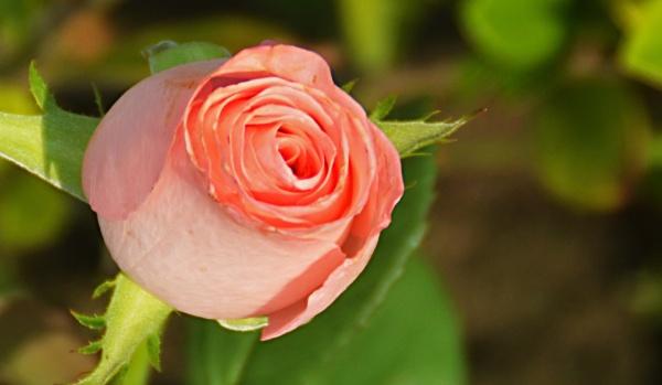 BEAUTIFUL ROSE by amitav