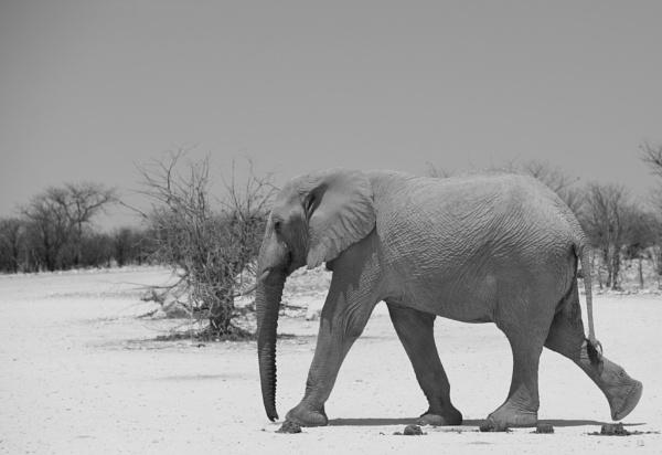 Etosha Elephant in black & white by pf