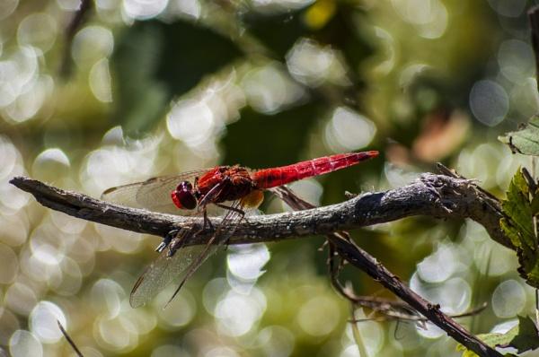 dragonfly by darkocv