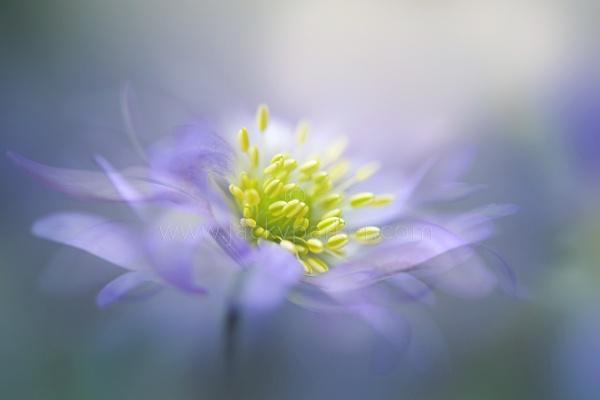 Windflower by jackyp