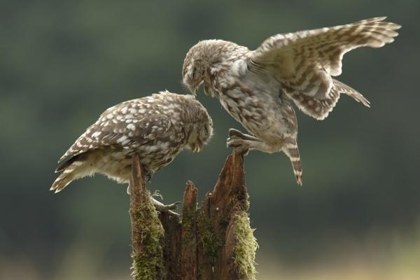Juvenile Little Owls by pmeswani