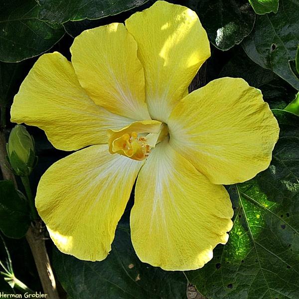 Yellow Hibiscus by Hermanus