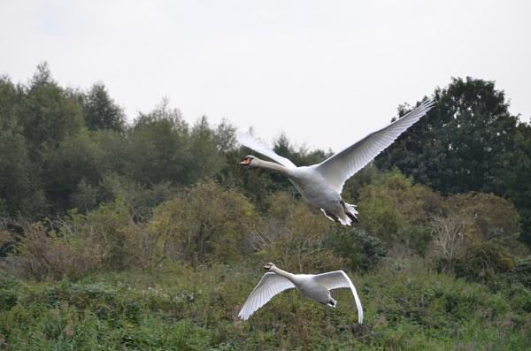 Swans taking off by elizabethapike62