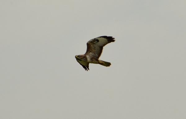 Bird of Prey by elizabethapike62