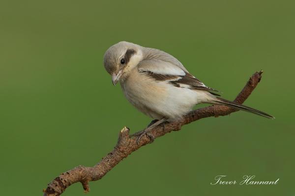 Steppe Grey Shrike by trevrob