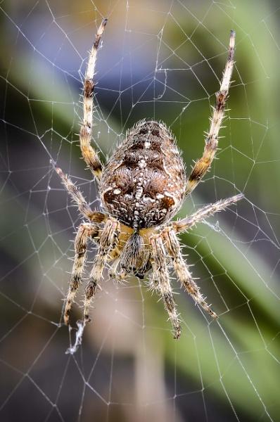 Garden Spider - Araneus Diadematus by Alan1297