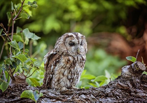 Tawny Owl by HUFC