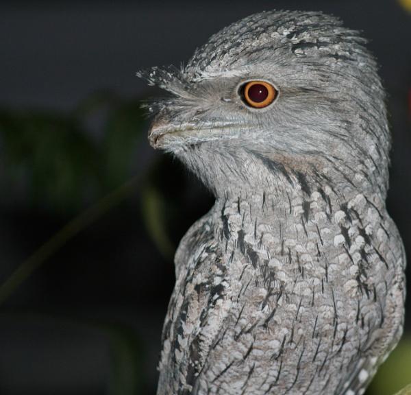 TAWNY FROGMOUTH OWL AUSTRALIA by BRITCHIE