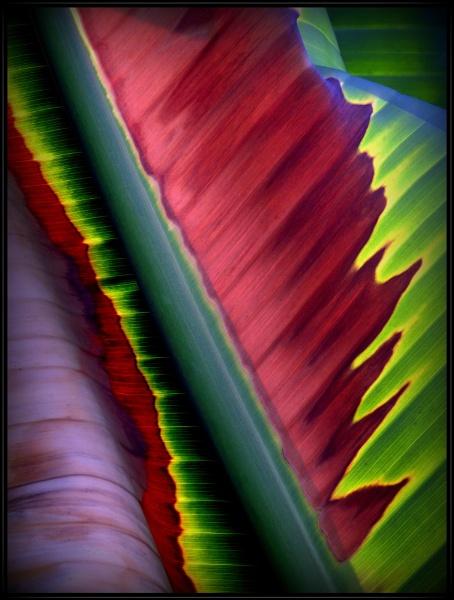 Banana Palm by Aldo Panzieri