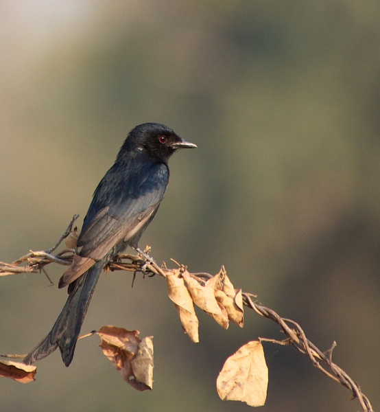 Drongo.. by rogerfry