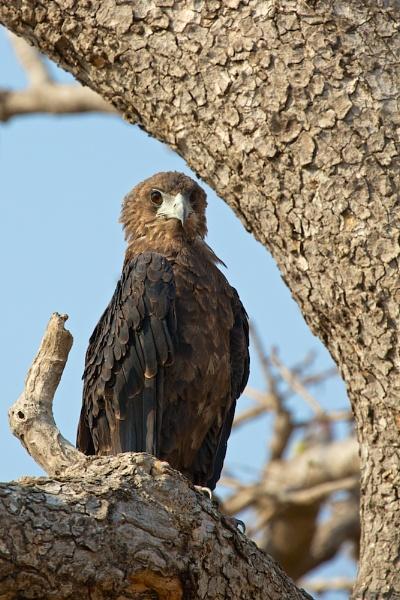 Snake Eagle by vickyf