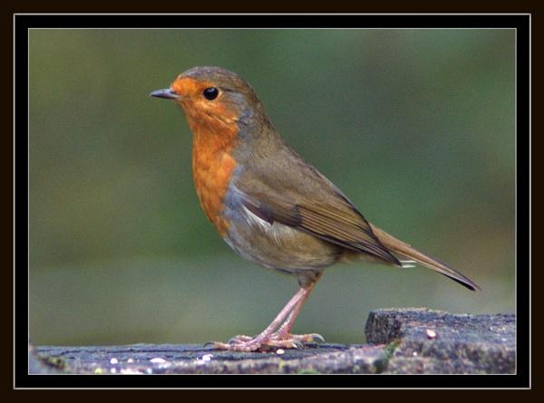 robin on a wall by stuartbailey1963