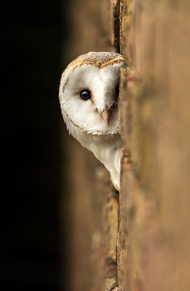 Barn Owl BOC by ChrisWallace