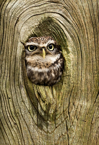 Little Owl in a Little Hole by ChrisWallace