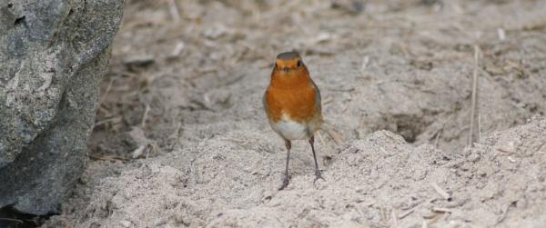 Rockin Robin by sanroy99