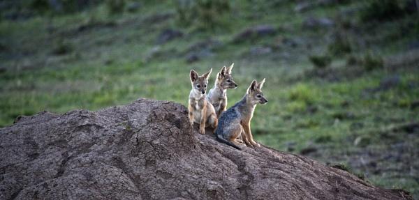 Jackal Pups by rontear