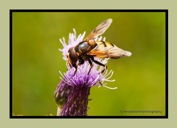 Hover-fly by SmartAS