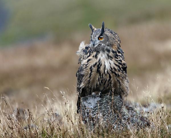 Eagle Owl by hasslebladuk