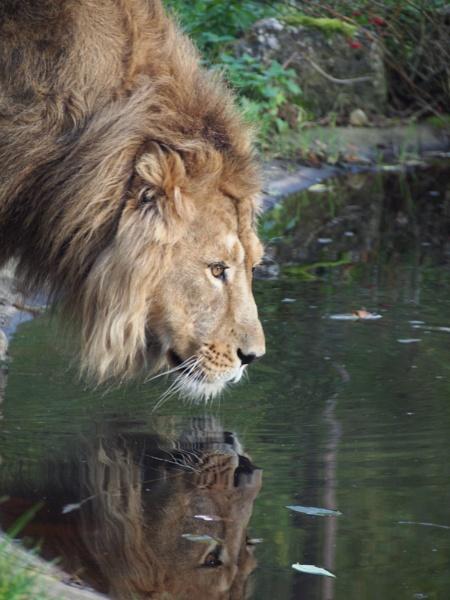 Lion. by Dannielle