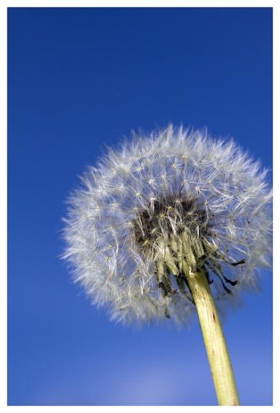 Dandelion by dstreny