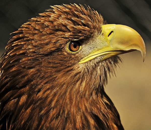 White tailed eagle by EddyG
