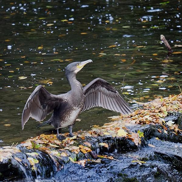 Tavistock Cormorant by topsyrm