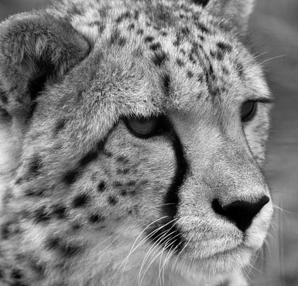 cheetah by kentbirder