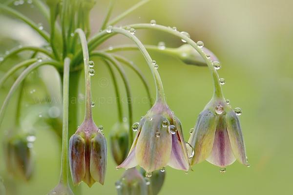 Honey Garlic by jackyp