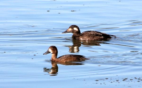 Ducks uncommon by tonyguitar