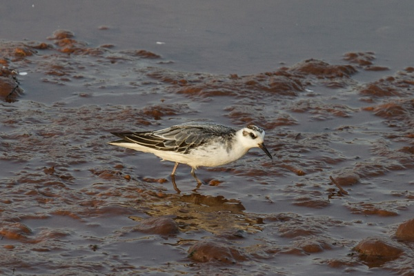 Grey Phalarope by elowes