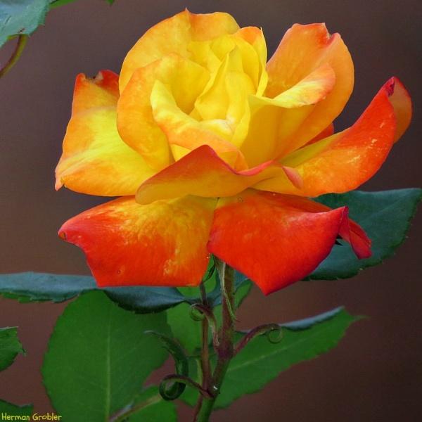 Sunrise in a Rose by Hermanus