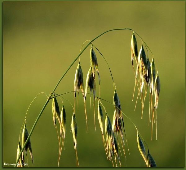 Grass Seed by Hermanus