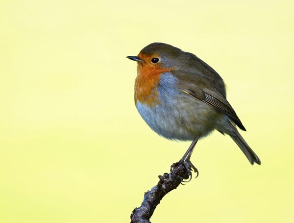 Round Robin by fargon