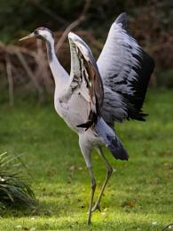Crane--Grus grus.