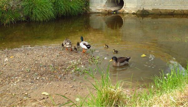 Ducks at Uitzicht Dam
