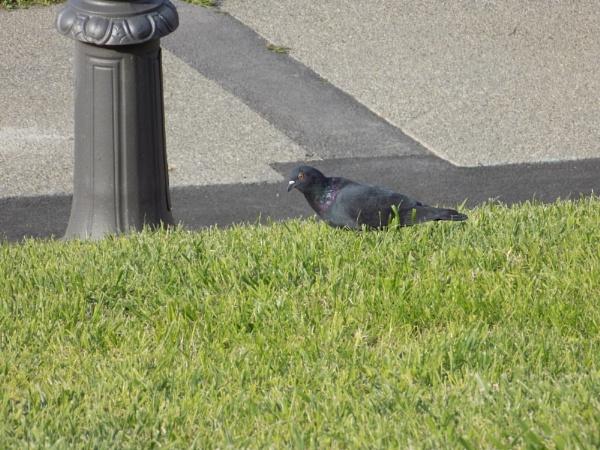 Un pigeon au palais du pharo by Daphnelectra
