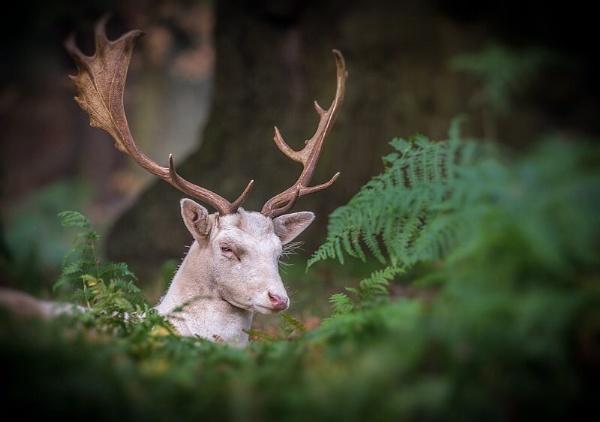 Bradgate Deer by neeley