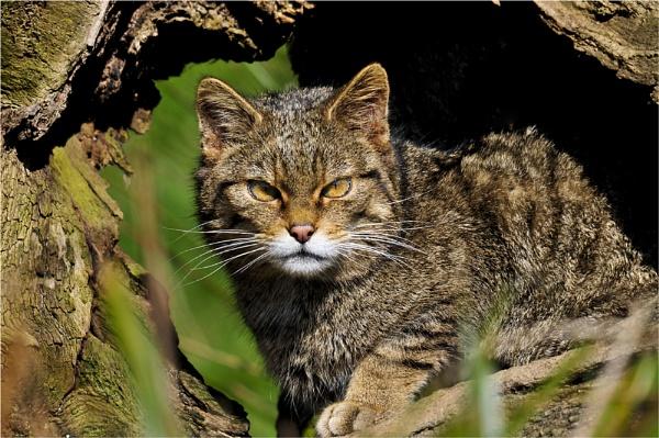 Scottish Wildcat by dven