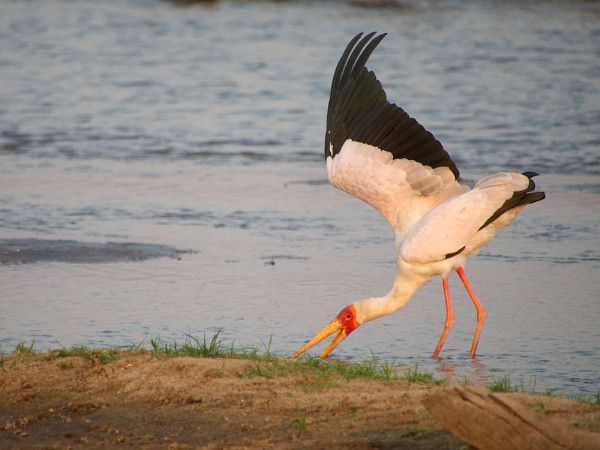 Yellow-billed stork.. by rogerfry
