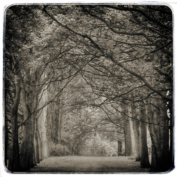 Sycamore Walk by Loudon
