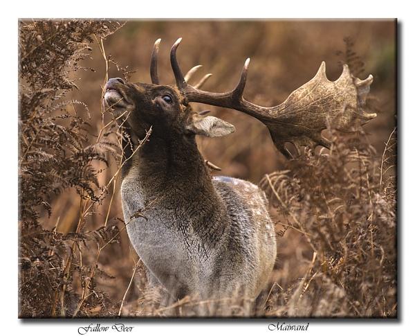 Fallow Deer Buck by Maiwand